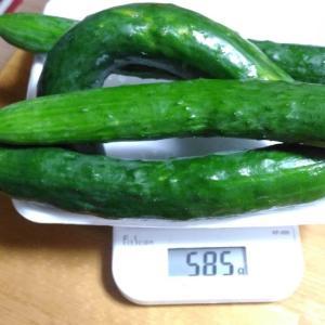 Today's Harvest ( Cucumber - 10 ) / [ Jul. 2020 ]