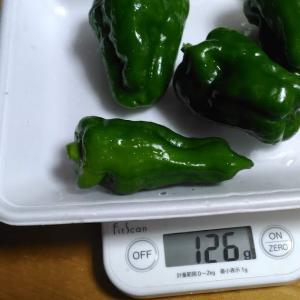 Today's Harvest ( Bell pepper - 10 ) / [ Jul. 2020 ]