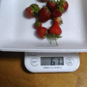 Today's Harvest ( Strawberry - 79 ) / [ Jul. 2020 ]