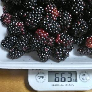 Today's Harvest ( Blackberry - 13 ) / [ Jul. 2020 ]