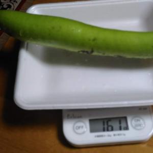 Today's Harvest ( White Eggplant - 2 ) / [ Jul. 2020 ]
