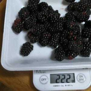 Today's Harvest ( Blackberry - 14 ) / [ Jul. 2020 ]