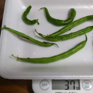 Today's Harvest ( Kidney beans without vine - 11 ) / [ Jul. 2020 ]