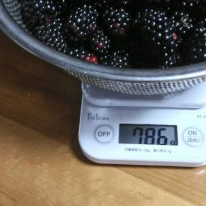 Today's Harvest ( Blackberry - 15 ) / [ Jul. 2020 ]
