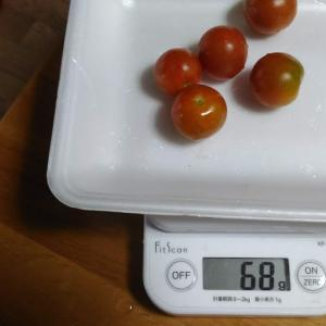 Today's Harvest ( Mini Tomato - 14 ) / [ Jul. 2020 ]