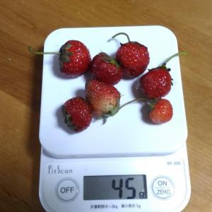 Today's Harvest ( Strawberry - 80 ) / [ Jul. 2020 ]