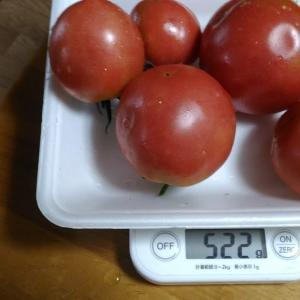 Today's Harvest ( Tomato - 2 ) / [ Jul. 2020 ]
