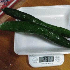 Today's Harvest ( Cucumber - 12 ) / [ Jul. 2020 ]