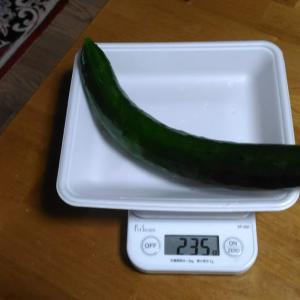 Today's Harvest ( Cucumber - 20 ) / [ Jul. 2020 ]