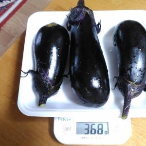 Today's Harvest ( Eggplant - 22 ) / [ Jul. 2020 ]