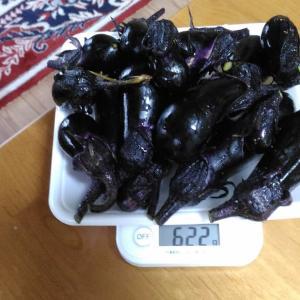 Today's Harvest ( Eggplant - 24 ) / [ Jul. 2020 ]