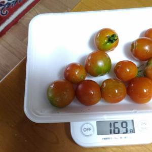 Today's Harvest ( Mini Tomato - 25 ) / [ Jul. 2020 ]