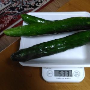 Today's Harvest ( Cucumber - 21 ) / [ Jul. 2020 ]
