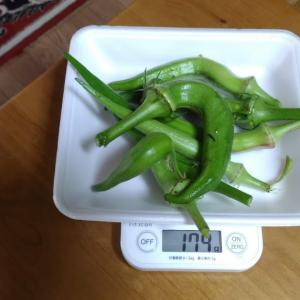 Today's Harvest ( the Okra - 9 ) / [ Aug. 2020 ]
