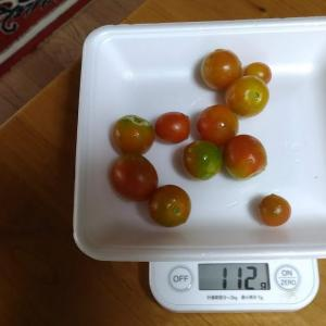 Today's Harvest ( Mini Tomato - 32 ) / [ Aug. 2020 ]
