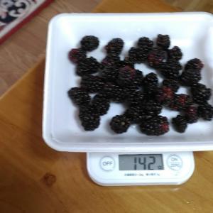 Today's Harvest ( Blackberry - 46 ) / [ Aug. 2020 ]