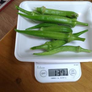 Today's Harvest ( the Okra - 13 ) / [ Aug. 2020 ]