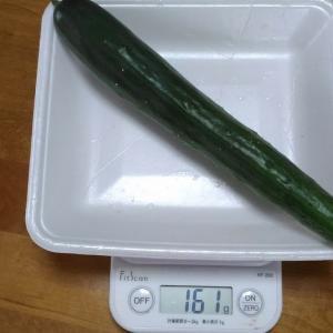 Today's Harvest ( Cucumber - 68 ) / [ Sep. 2020 ]