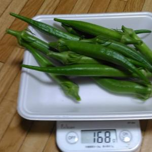 Today's Harvest ( the Okra - 52 ) / [ Sep. 2020 ]