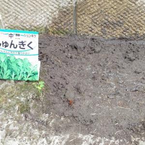 Sowing Seeds of Garland chrysanthemum ( Sep. 2020 )