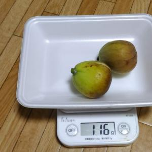 Today's Harvest ( Fig - 24 ) / [ Sep. 2020 ]