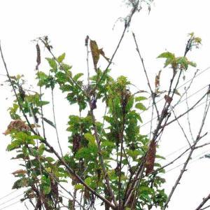 Branch Lopping ( Sato Nishiki Cherry ) [ Sep. 2020 ]