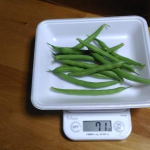 Today's Harvest ( Kidney beans vine type - 19 ) / [ Sep. 2020 ]