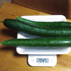 Today's Harvest ( Cucumber - 73 ) / [ Sep. 2020 ]