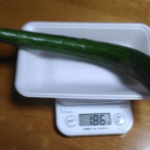 Today's Harvest ( Cucumber - 74 ) / [ Sep. 2020 ]