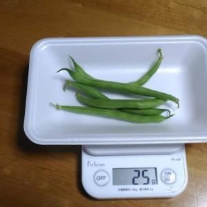 Today's Harvest ( Kidney beans vine type - 20 ) / [ Sep. 2020 ]