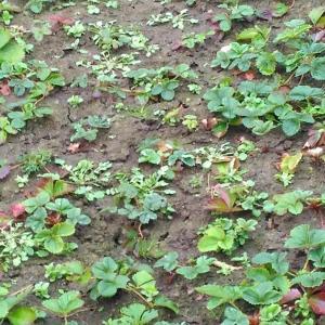 Weeding in a strawberry area ( Nov. 2020 ) - 26