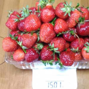 Today's Harvest ( Strawberry - 16 ) / [ May. 2021 ]