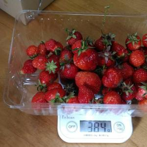 Today's Harvest ( Strawberry - 17 ) / [ May. 2021 ]