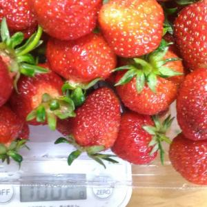 Today's Harvest ( Strawberry - 18 ) / [ May. 2021 ]