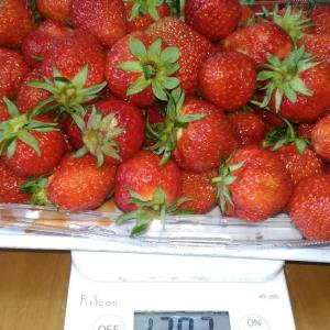 Today's Harvest ( Strawberry - 19 ) / [ May. 2021 ]