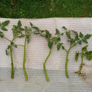 The Mini tomato cuttings ( Jun. 2021 ) - [ 11,12,13,14,15,16,17 ]