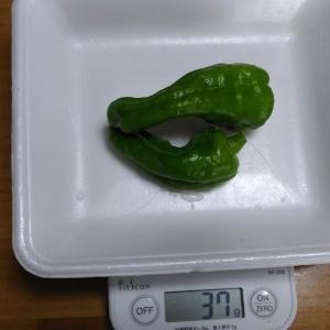 Today's Harvest ( Bell pepper - 4 ) / [ Aug. 2021 ]