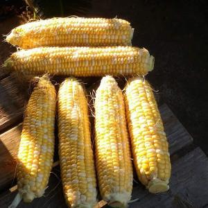 Today's Harvest ( Corn - 7 ) / [ Aug. 2021 ]
