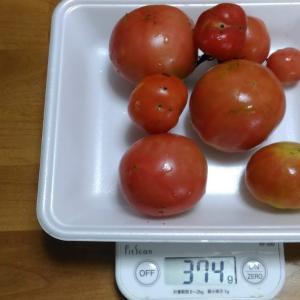 Today's Harvest ( Tomato - 8 ) / [ Aug. 2021 ]