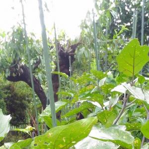 Pruning for Autumn Eggplant - 1 ( Aug. 2021 )