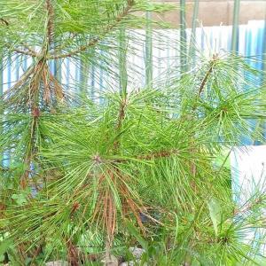 Today's Pine Bonsai ( Sep. 2021 )
