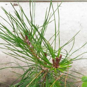 Making pine bonsai ( Sep. 2021 )