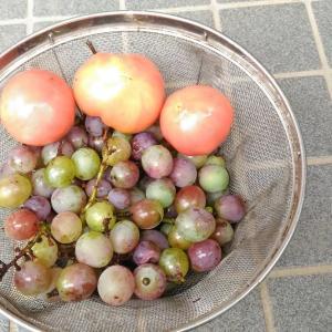 Today's Harvest ( Tomato - 18 & Grape - 3 ) / [2019]