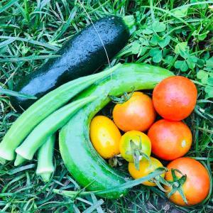 6/30 合羽着て朝畑、今月の夏野菜カウンター