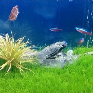ハマってます!種から育てる水草『ショートヘアーグラス編』/成長記録その①