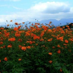 フジバカマが花をつけたであろうから、再び鹿田山フットパスへ