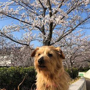 わん友と桜