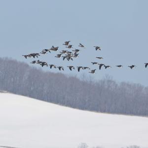 雪に埋まる雁中継地