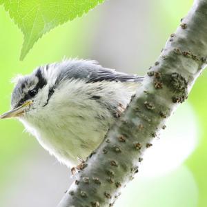 ゴジュウカラ幼鳥