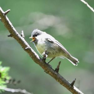ヒガラ・ハシブトガラ幼鳥